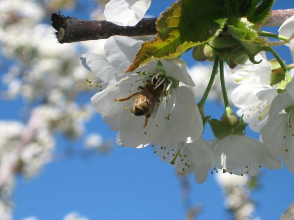 Orchards-Cherry-Bee-Polinators.jpg