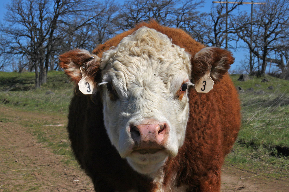 Farm-Cow-Close-Up.JPG