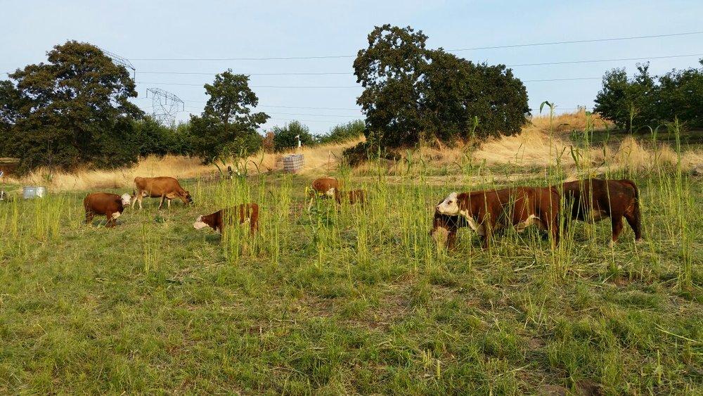 Farm-Cows-1.jpg