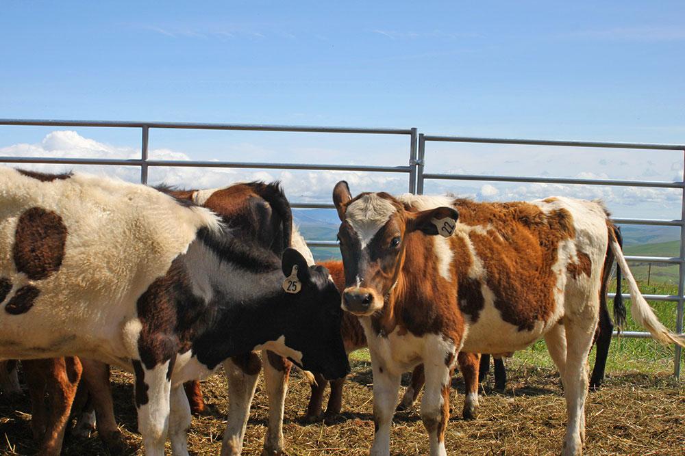 Farm-Cows-3.JPG