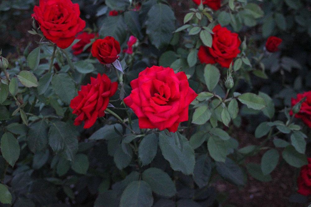 Farm-Garden-Roses-2.jpg