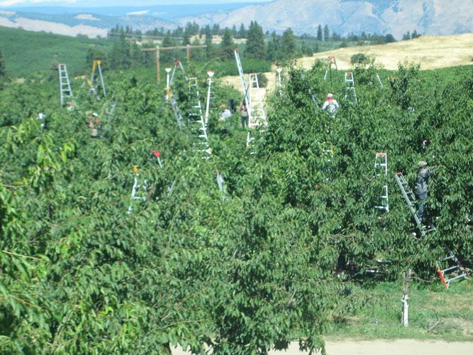 Harvest-Ladders.jpg