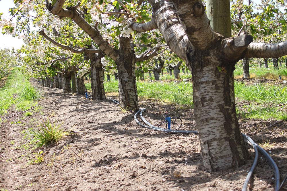 Innovation-Cherry-Orchard-Drip-Irrigation.JPG