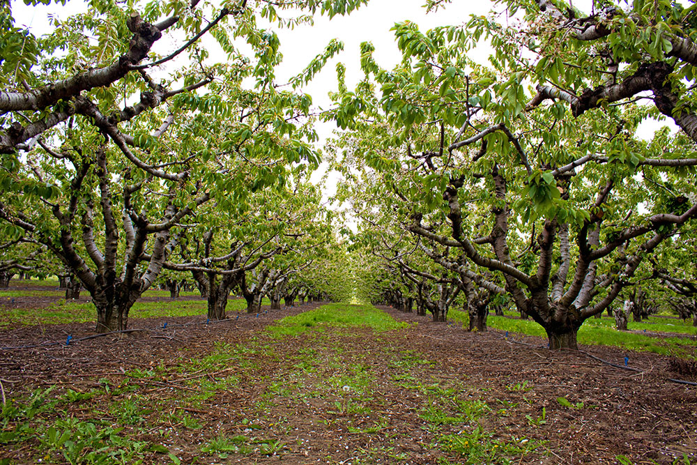 Orchards-Cherries-Row.jpg
