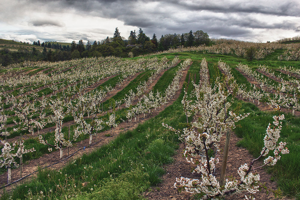 Orchards-New-Cherry-Trees-Planted.jpg