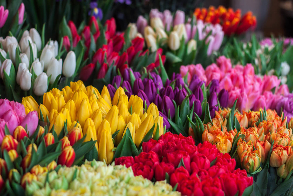 Tulip Mania in Holland - Tulpenmanie - comparisons with Bitcoin