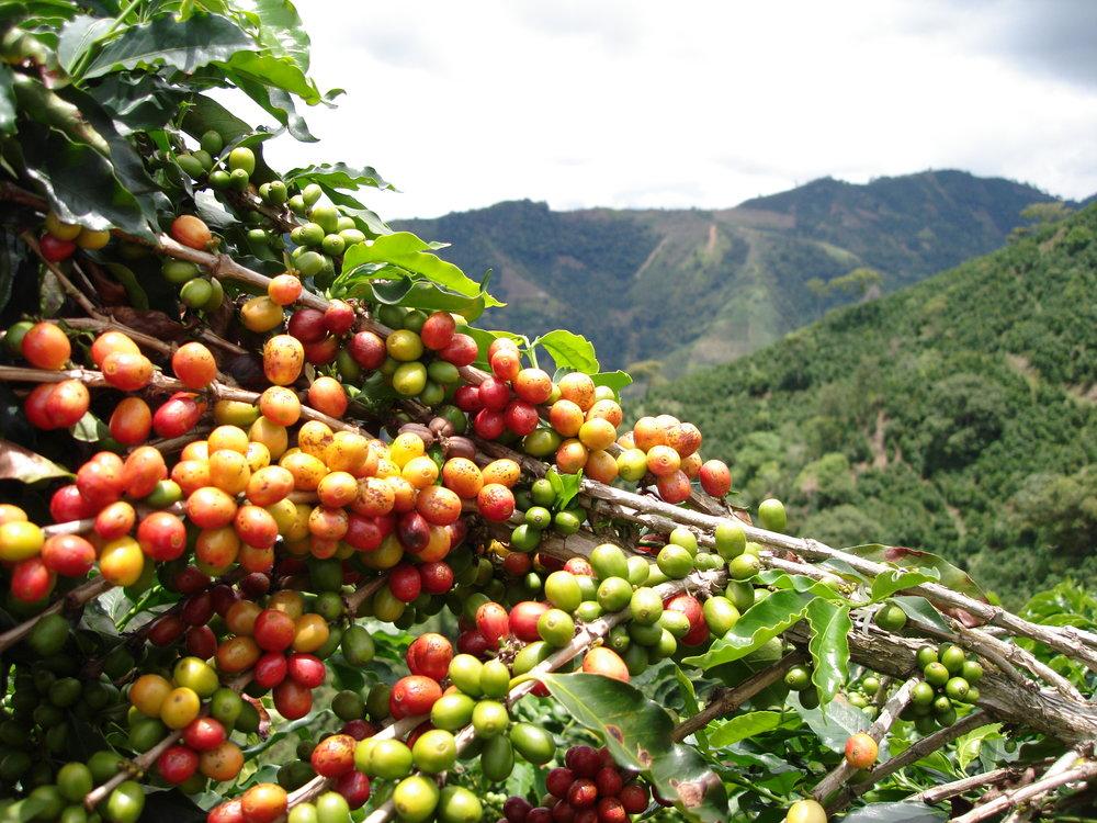 coffee_plantation_colombia-635.jpg