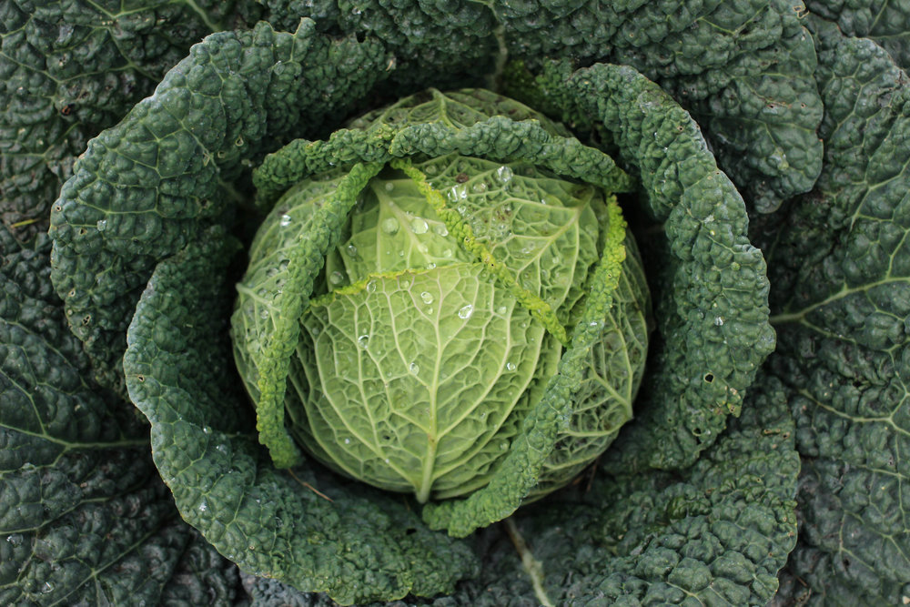 Raw: young green cabbage