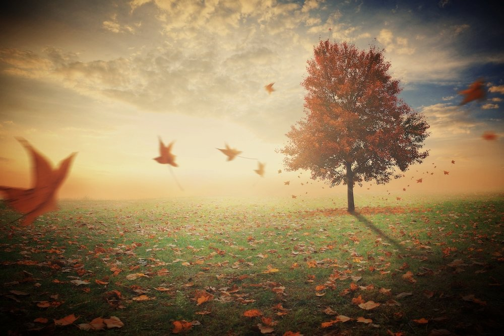 a-single-red-maple-tree-in-a-field-with-leaves-falling-to-the-ground_HQemXyGx0.jpg