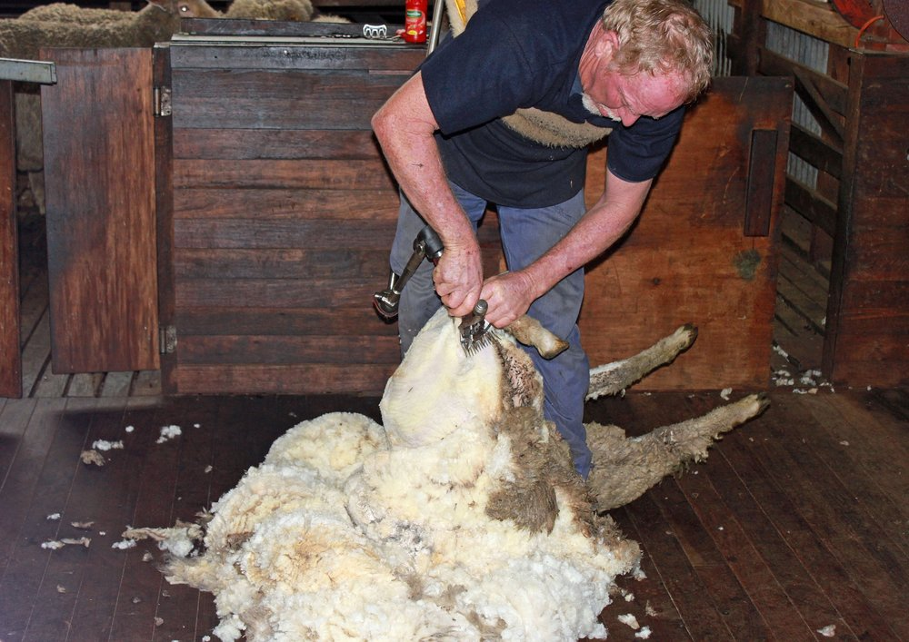 sheep-shearing-1105901_1920.jpg