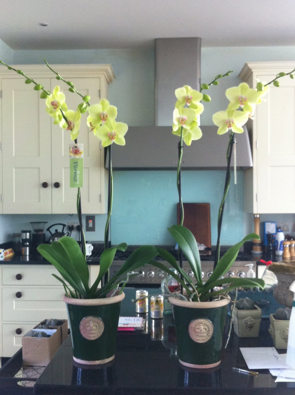 Medium Kew pots planted with green orchids - £49 each -