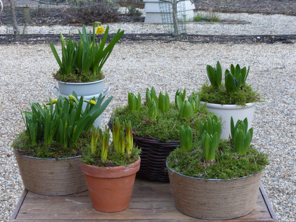 - Various bowls planted with daffodils, hyacinths and Muscari - from £6 - £28