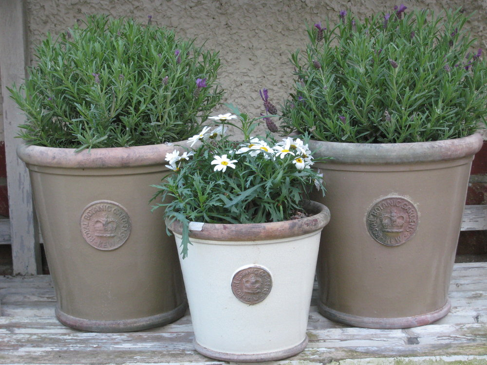 Kew pots planted with Lavender & Margarites - XL Camouflage - £65 eachLS Ivory - £35 each
