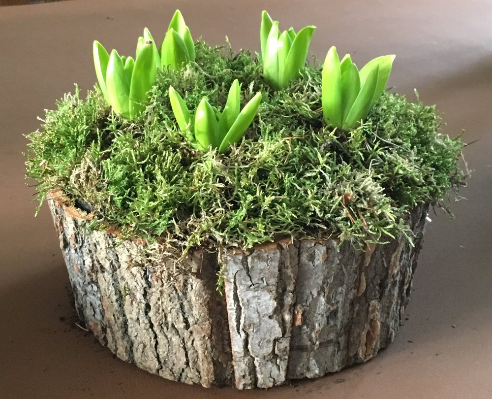 Bark bowl planted with Hyacinths - £28