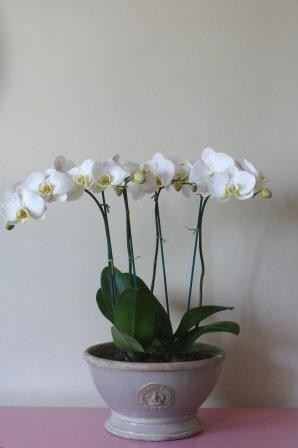 Large footed bowl planted with 2 Orchids - £115  Empty Large H: 18.5 x W: 30.2cm - £42  Small H: 12.5 x W: 23cm - £28