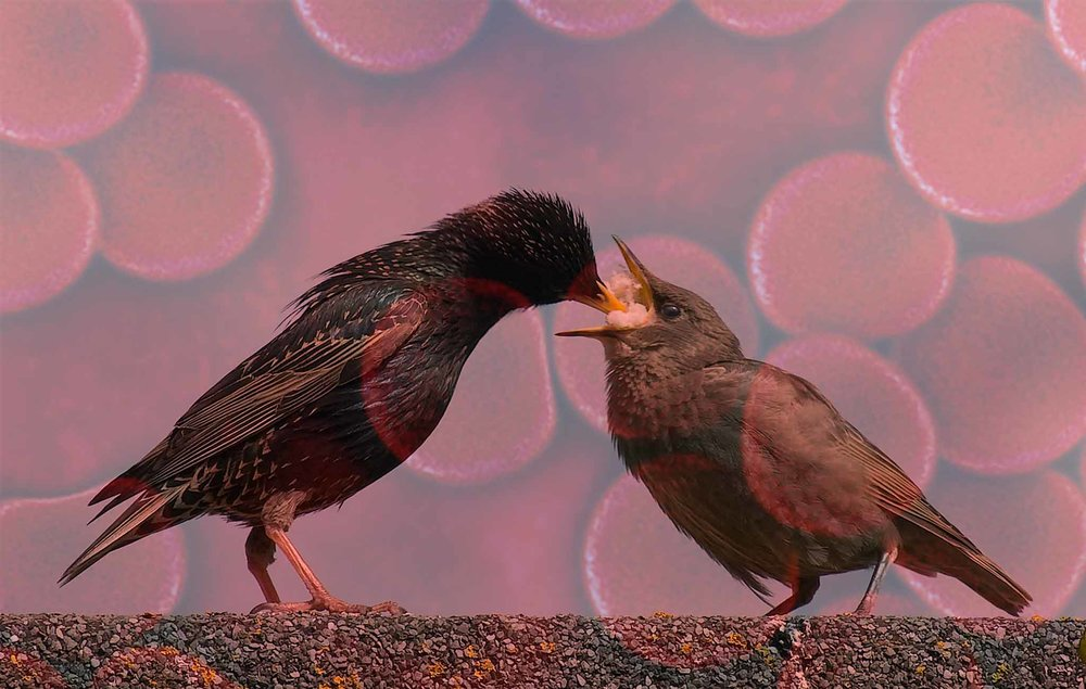 Starling_Feeding_Offspring.jpg
