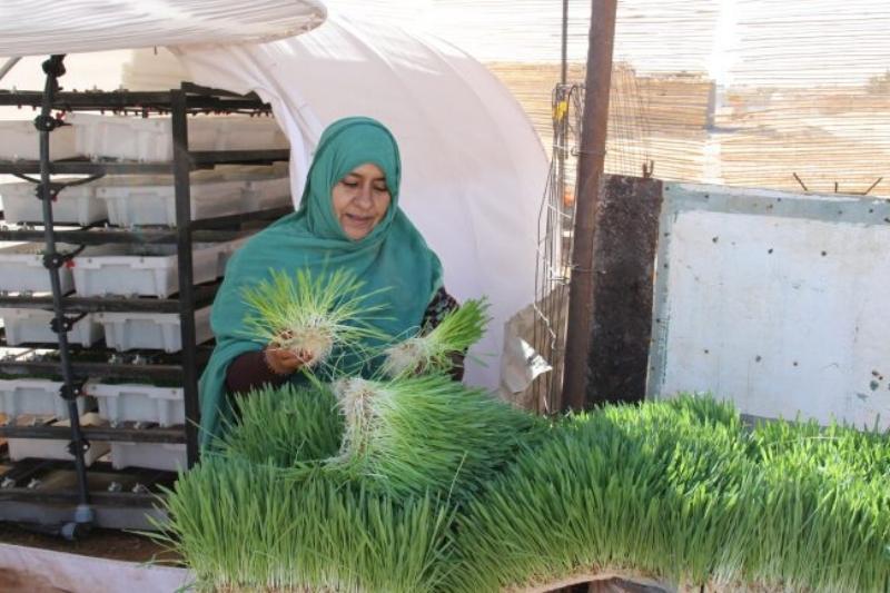 Growing Barley in the Desert