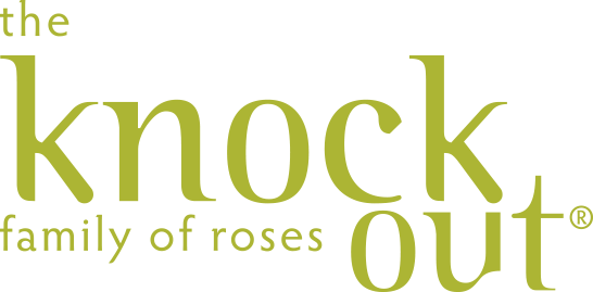 the pink double knock out rose the knock out family of roses