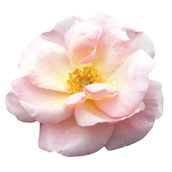 The Peachy Knock Out® Rose