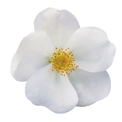 The White Knock Out® Rose