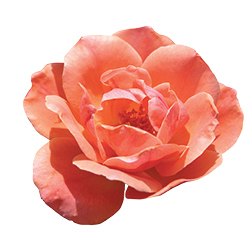 The Coral Knock Out® Rose