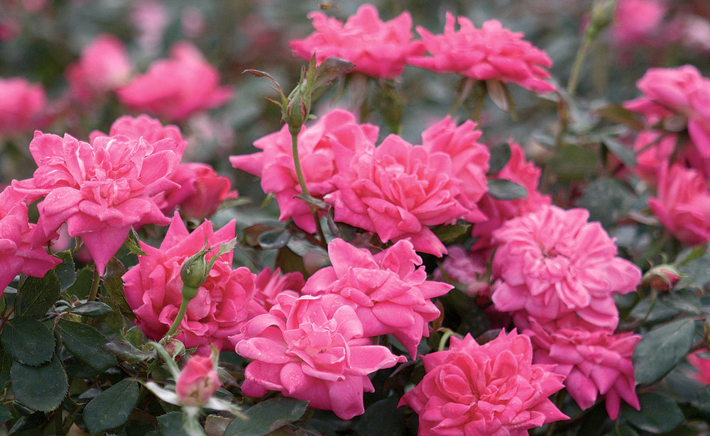 The pink double knock out rose the knock out family of roses mightylinksfo