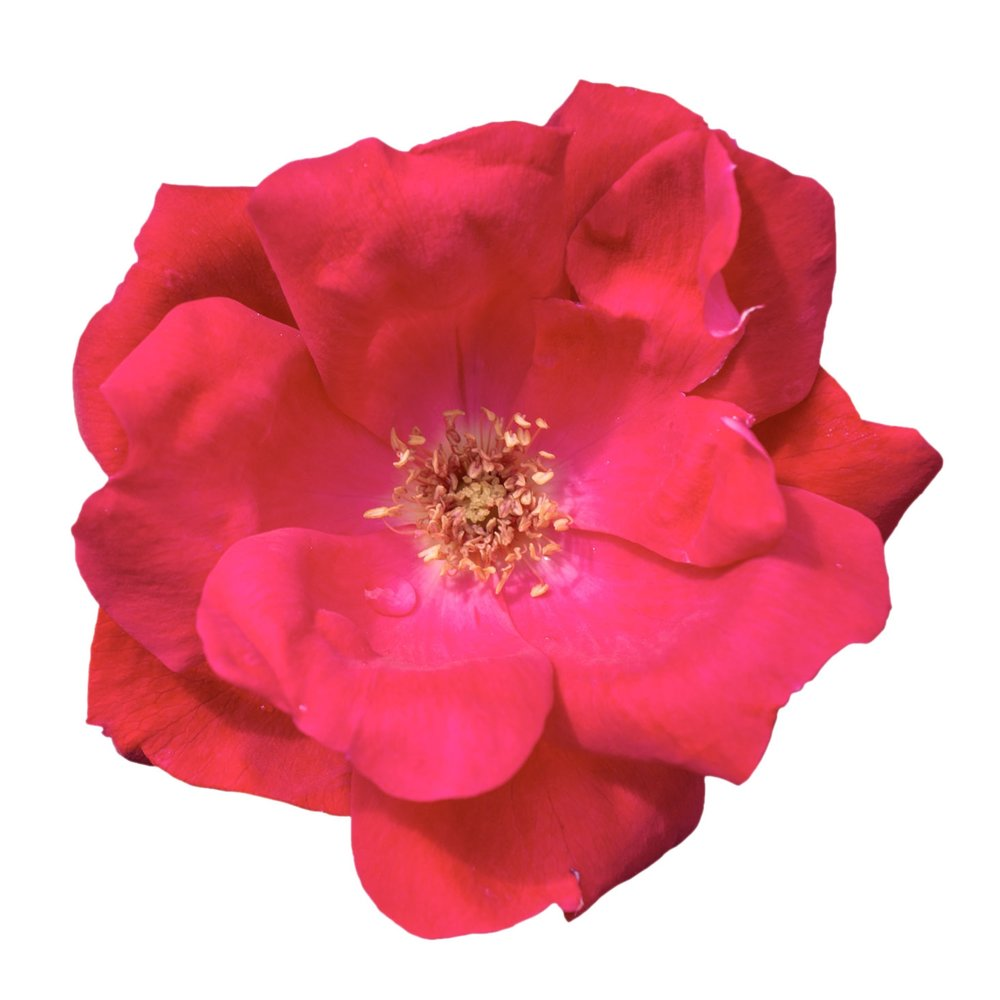 The Knock Out® Rose