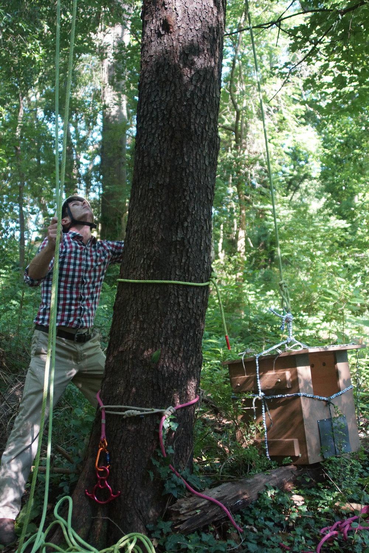 Art Morris of NUF helps hoist the box up the tree.