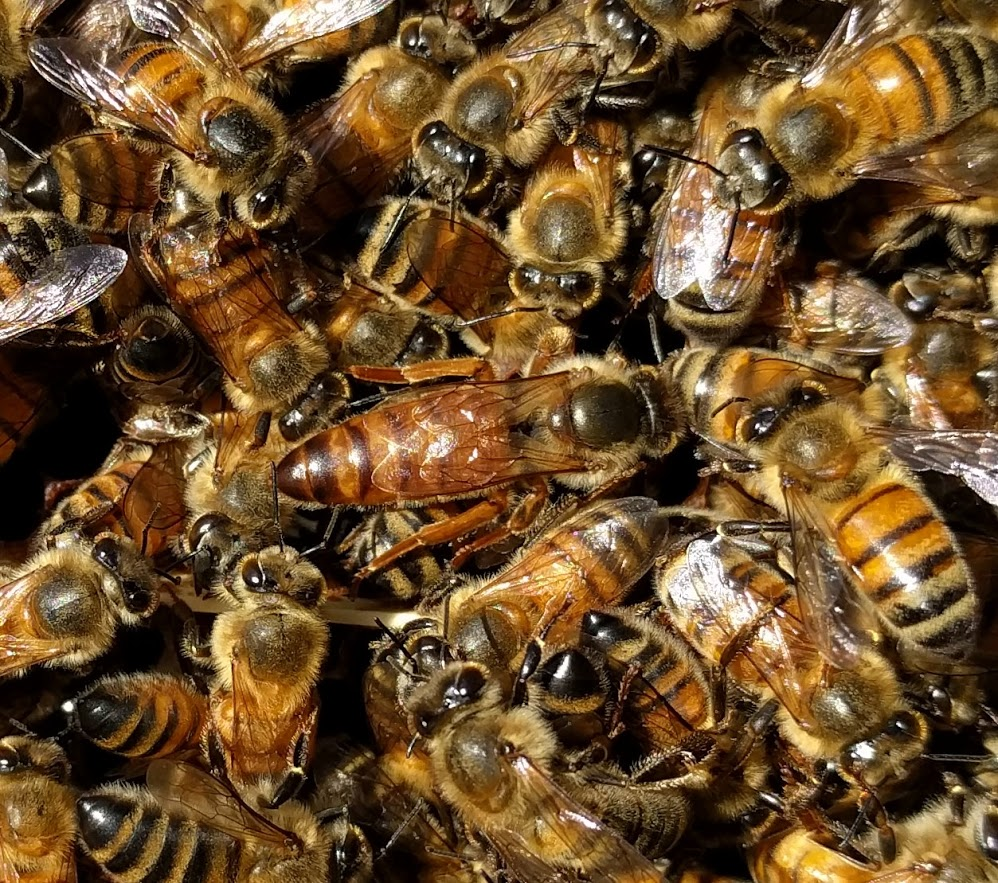 The queen bee and her swarm.