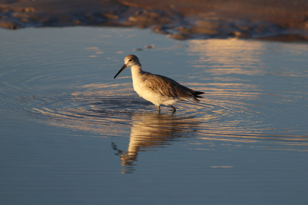 Reflections of a Willet