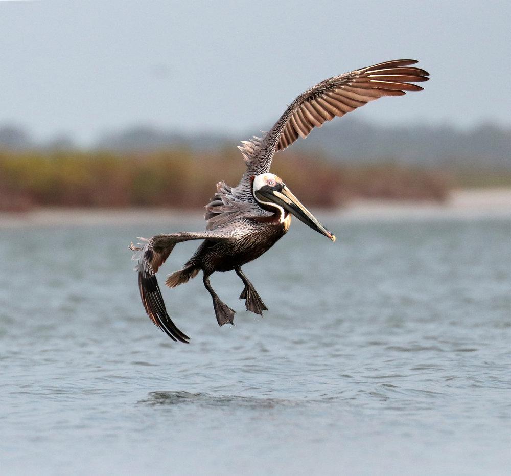 Pelican Beauty