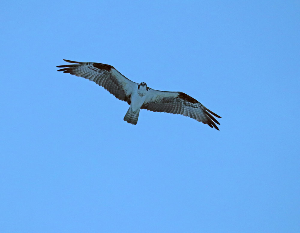 Eye contact with osprey never gets old.