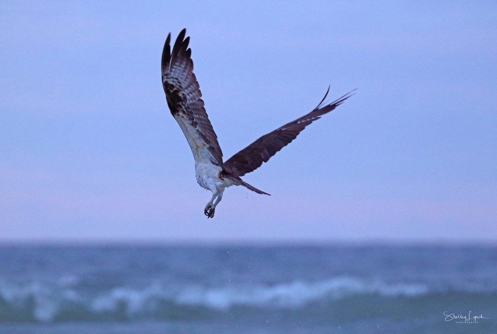 The osprey ere at the party too!