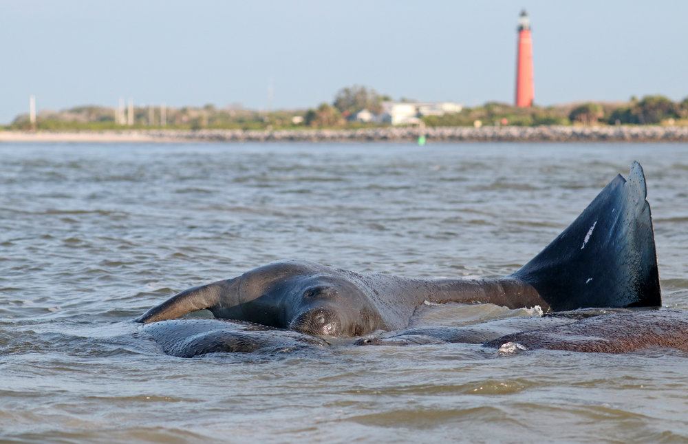 Manatees Love New Smyrna Beach