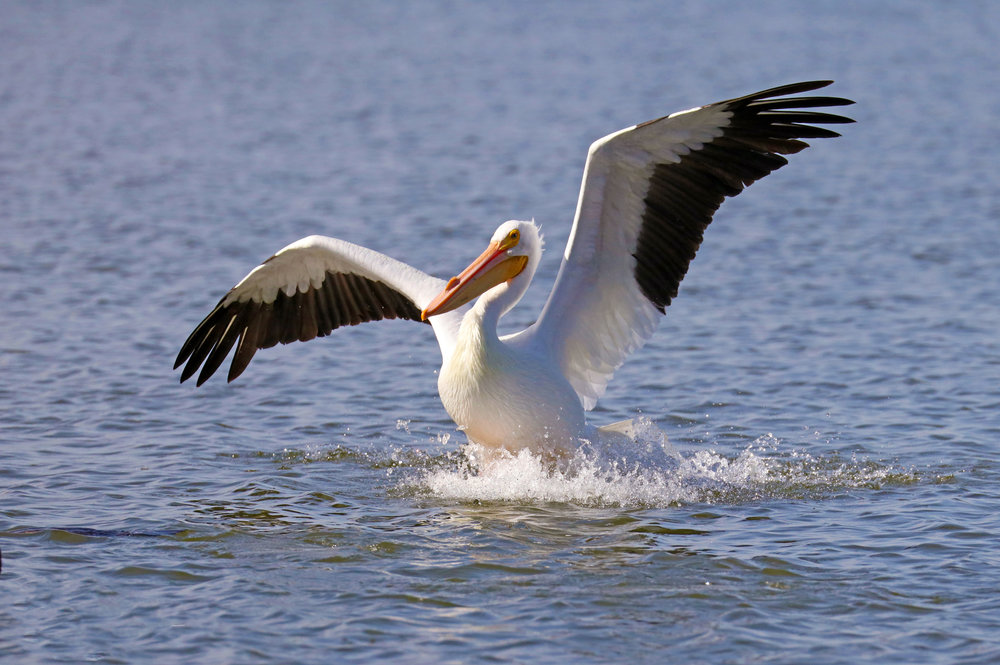 White Pelican Beauty