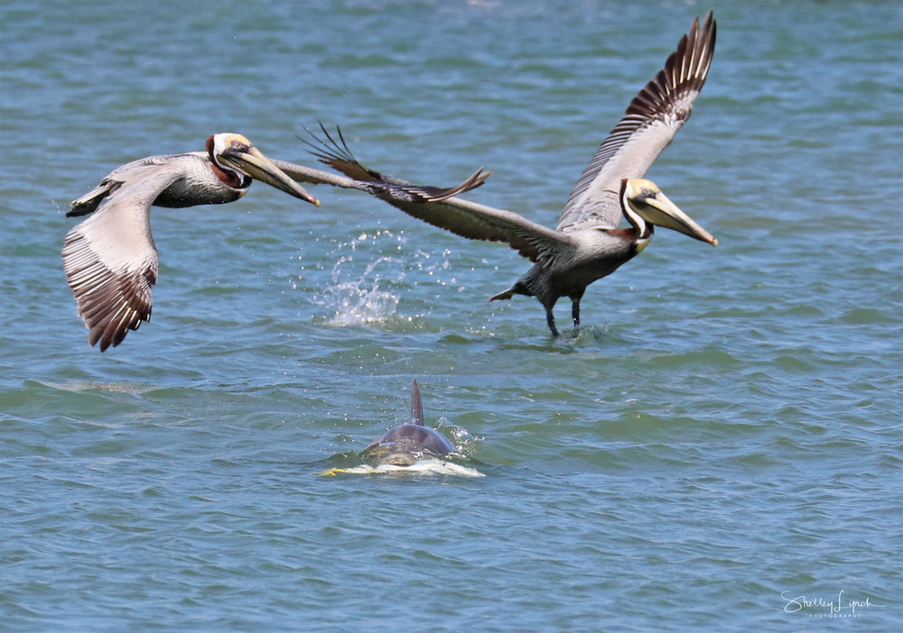 """""""Hey you gonna eat that or just swim with it?""""  said the pelican"""