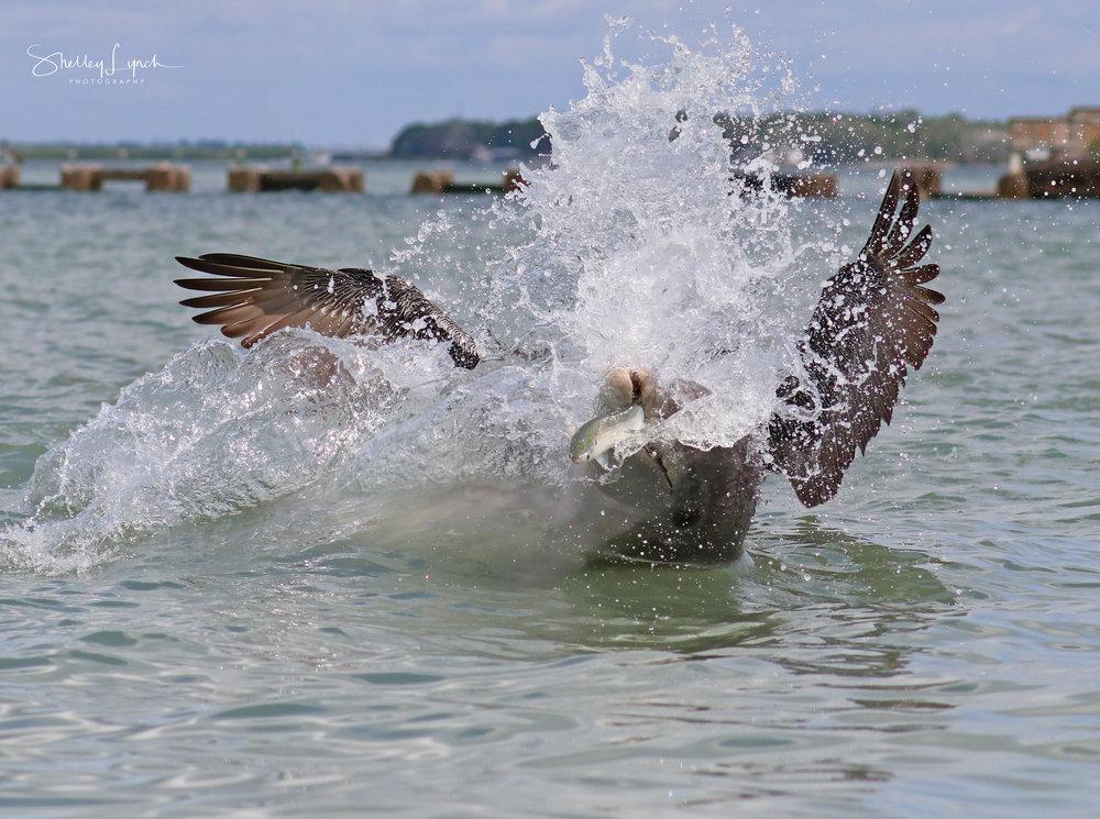 Apollo with a pelican riding his tushy