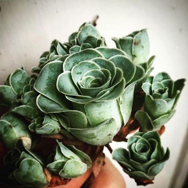 I want #rosesucculent . Formerly  known as Greenovia Dodrentalis.  #suckerforsucculents #seegreen #greenthumb #indoorgarden #petitjardin #slowdown #meditate #greenliving