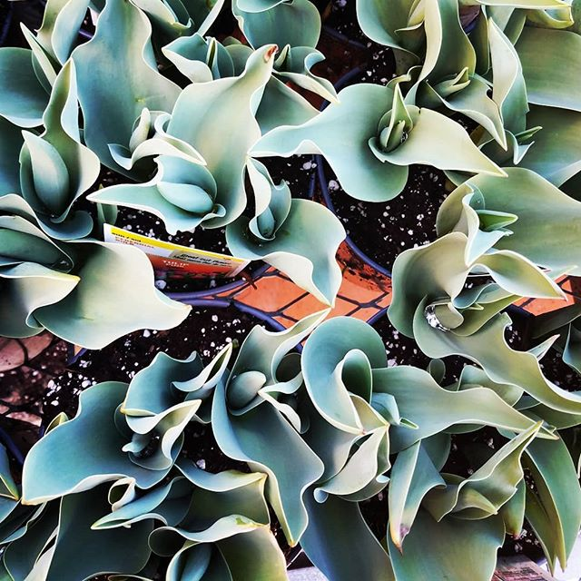 Leaves of tulips . Did you know that they originate from Central Asia and not Holland?  #seegreen #greenthumb #concretejungle #tulips #fractals #fortheloveoffractals