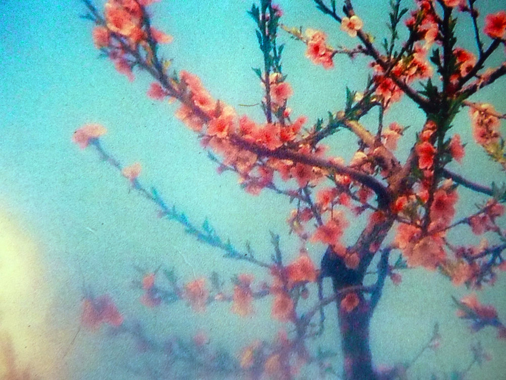- Blossom, Broadview, home made camera lens, 1998.
