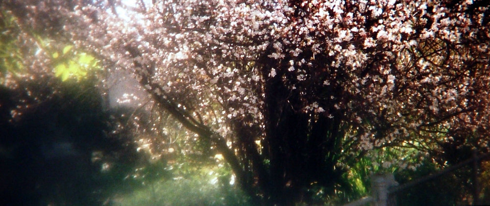 - Line of Blossoms, Broadview, pin hole camera, 2001.