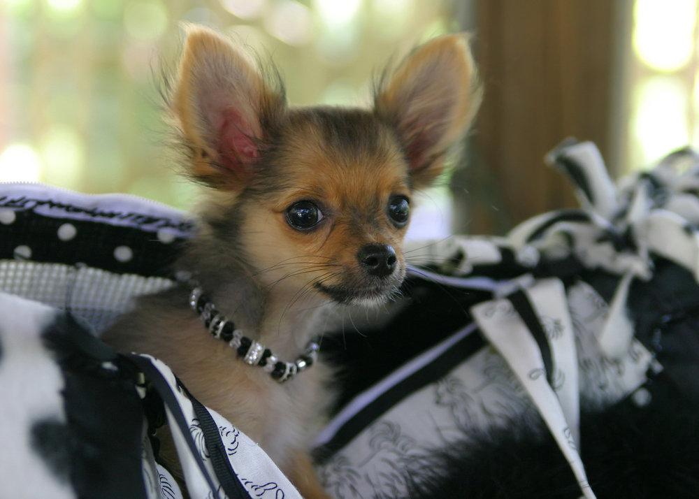 bigstock-Pocket-Puppy-69574.jpg