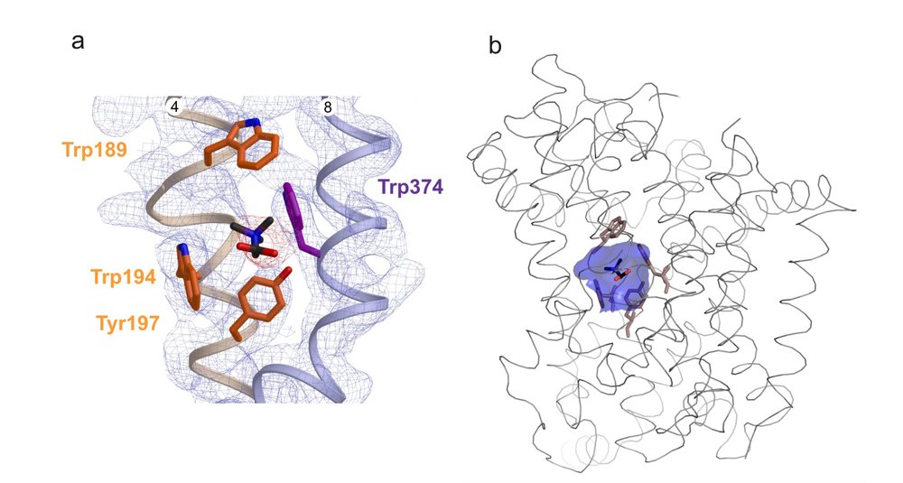 The betaine-binding site in BetP