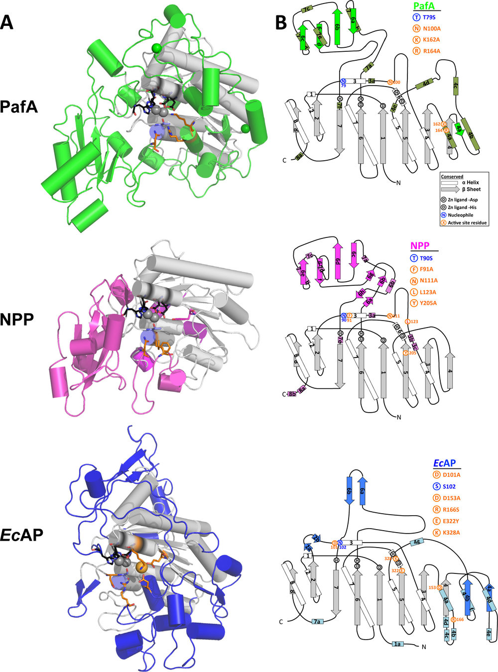 Global structure and active site of PafA, NPP, and EcAP.