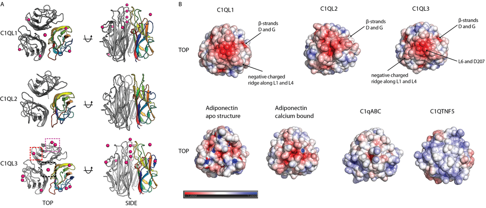 Crystal Structures of Globular C1q Domains of C1QL1, C1QL2 and C1QL3