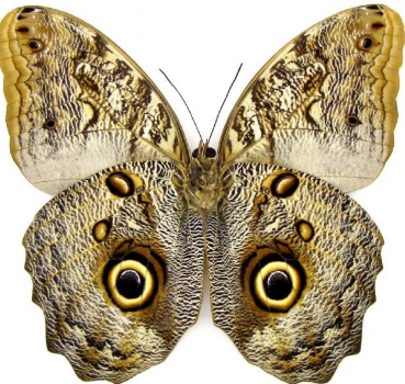 Preserved Butterfly Mask.png