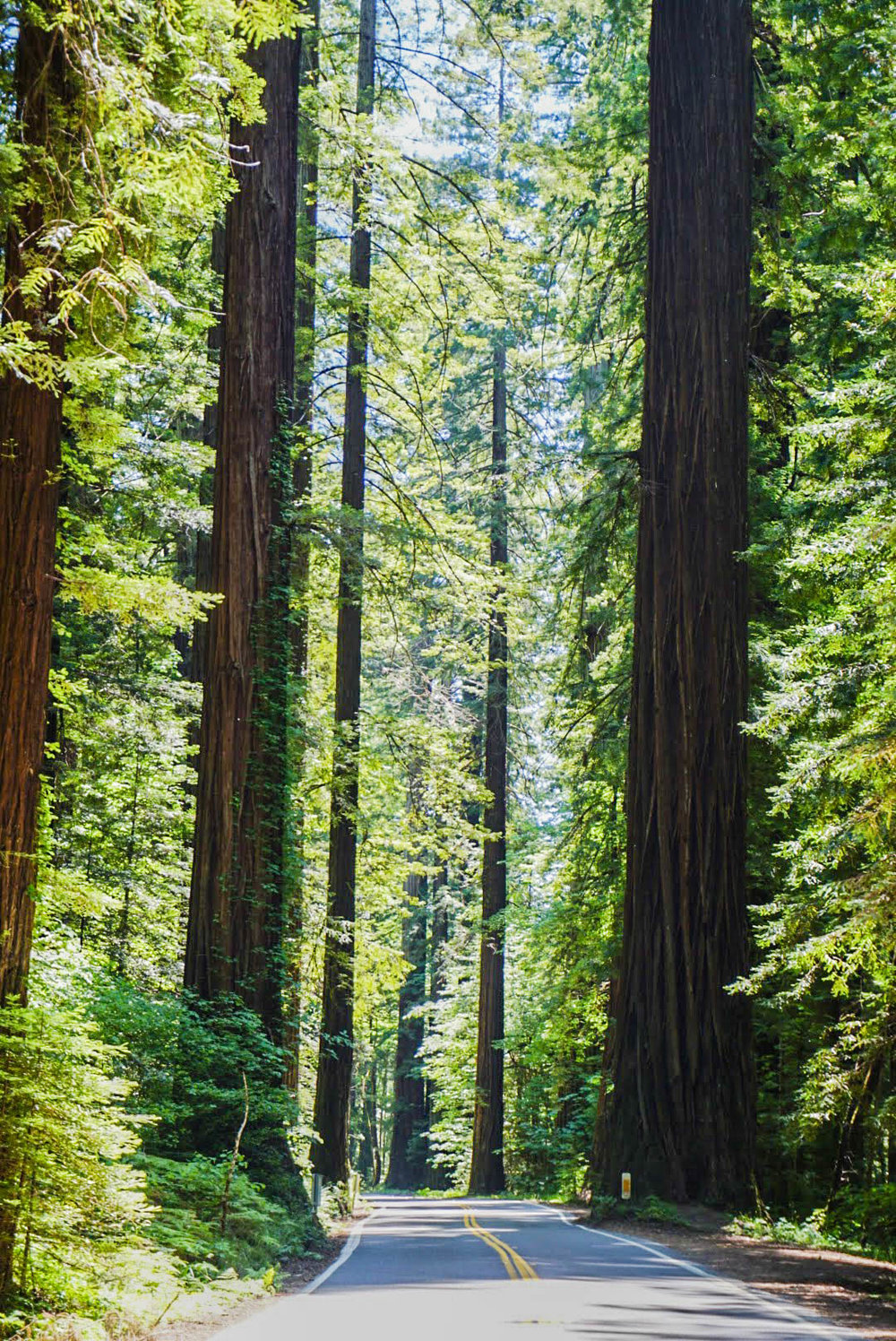 GOAL TRAVELER- REDWOODS- CALIFORNIA