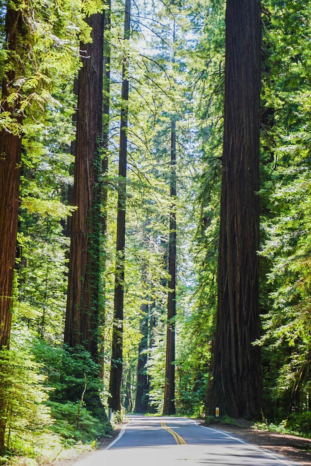 GOAL TRAVELER- REDWOODS- CALIFORNIA