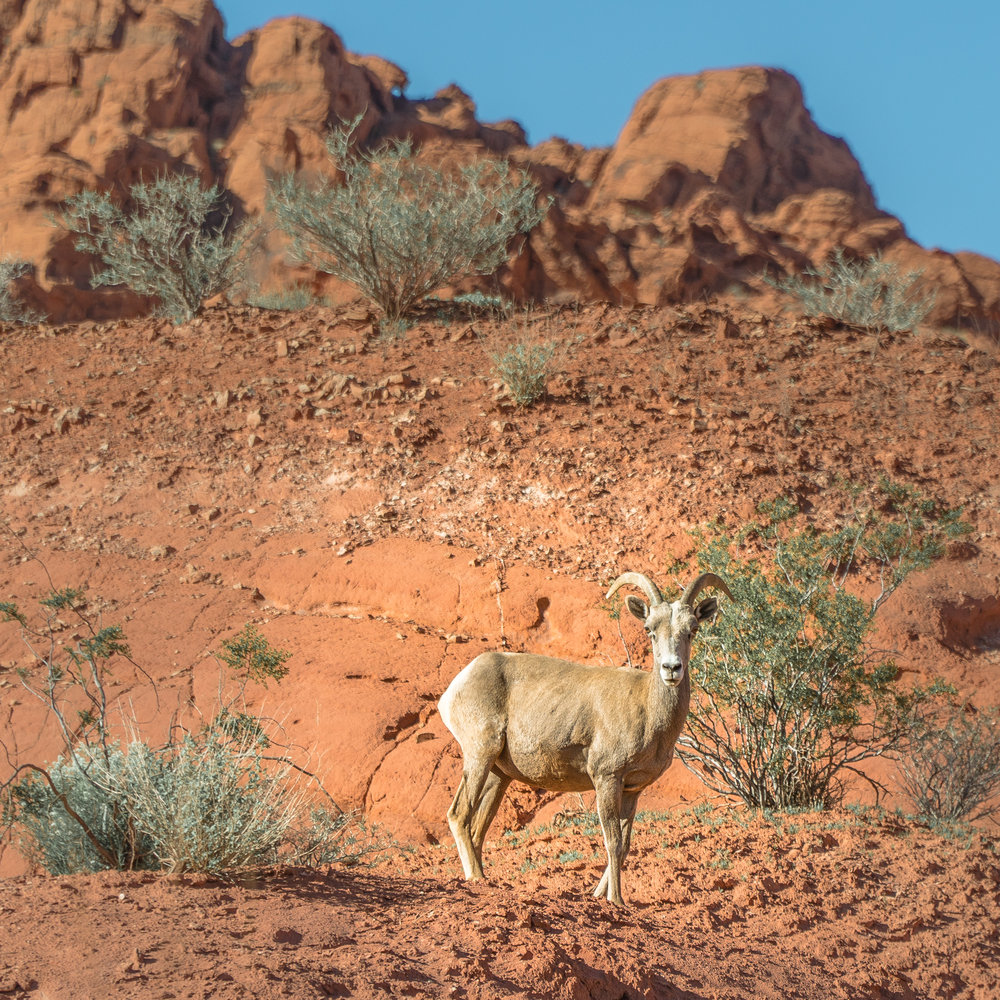 Goal_Traveler_Sheep_wildlife_Nevada.jpg