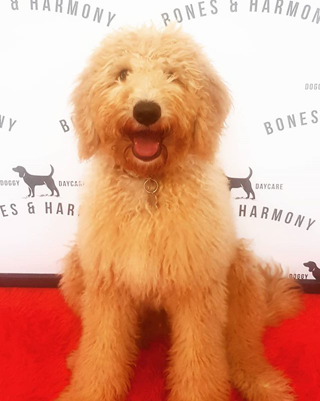 """📸 Welcome: Harvey! """"Cuddliest as a bear can be, I'm your Golden Groodle Bear!"""""""